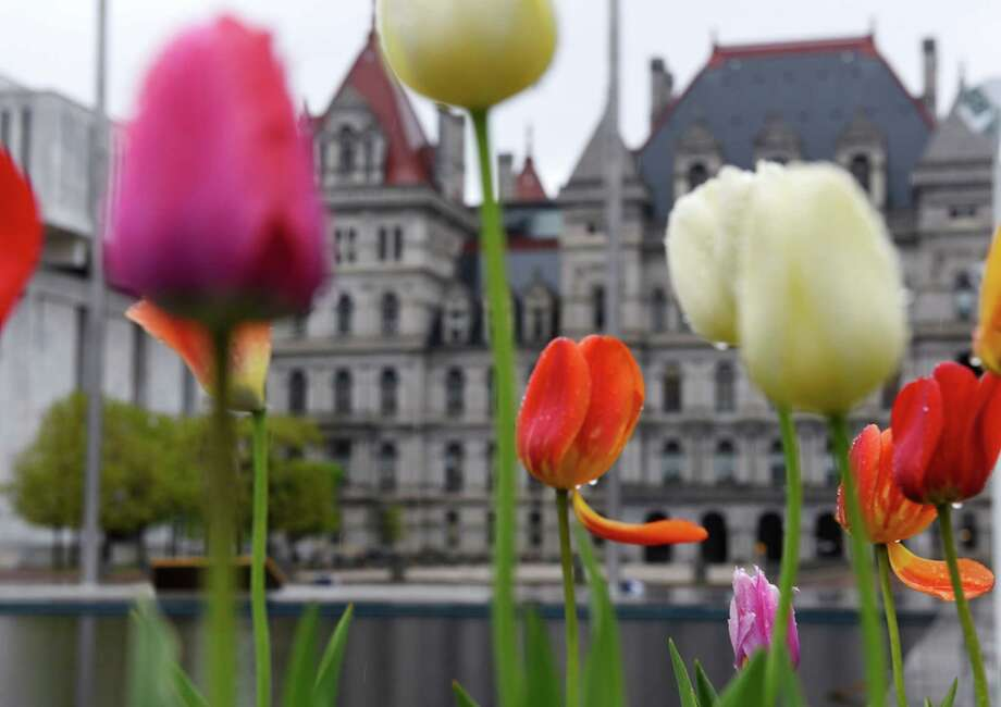 Rain gathers on tulips at the Empire State Plaza on Friday, May 5, 2017, in Albany, N.Y. (Will Waldron/Times Union) Photo: Will Waldron / 20040432A