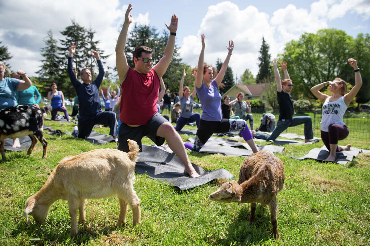 Kids chew grass as Rachel Beklund leads a class during goat yoga at The Wobbly Ranch in Snohomish on Saturday, May 6, 2017.