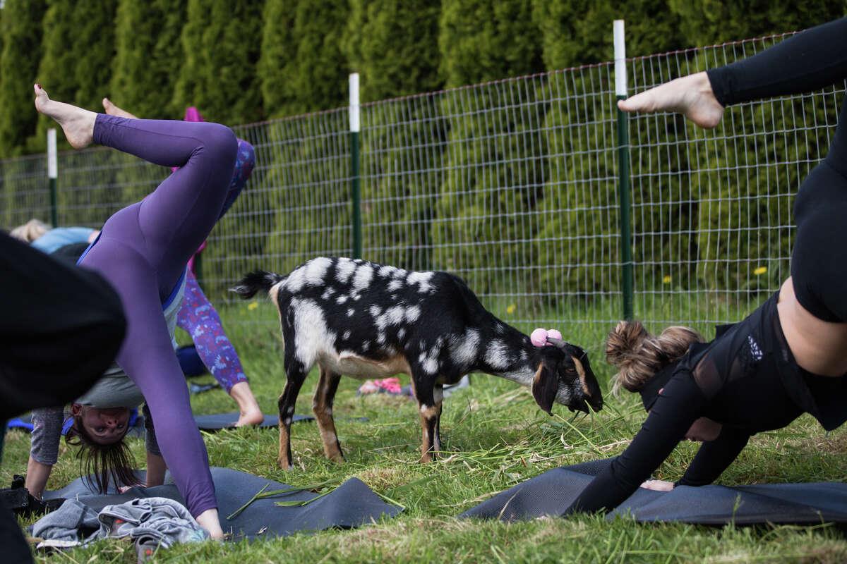 Bambi roams through yogis.