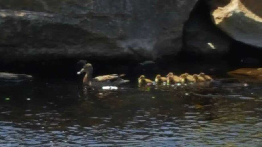 Stamford Animal Control moved a family of ducks from a office building on Washington Boulevard to the Mill River on Thursday. Photo: Contributed Photo