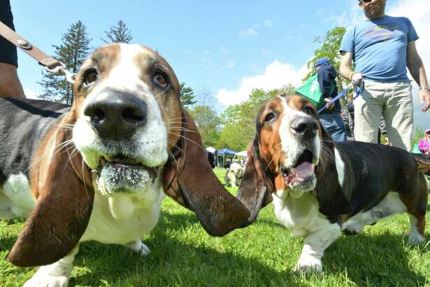 Max and Logan , Basset Hounds take in the sights with their owners Quinn and Gavin McMahon from Westport during the 2nd Annual Dog Festival sponsored by the Weston Westport Chamber of Commerce at Winslow Park on Sunday May 7, 2017 in Westport Conn. The festival is produced in association with TAILS the local charitable organization that promotes spay/neutering of animals. Proceeds will benefit non profit organizations. Last year $5000 was donated by the Chamber to deserving groups.