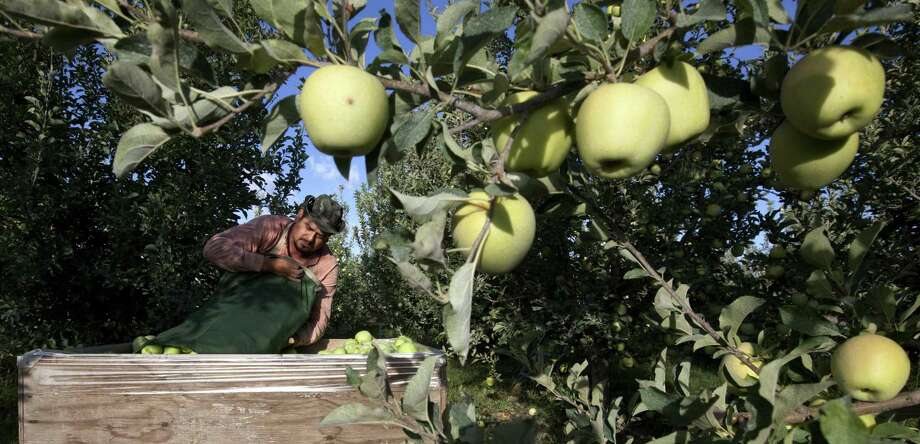 Harvesting the vast fruit orchards of Eastern Washington each year requires thousands of farmworkers, many of them working illegally in the United States. That system could eventually come to an end as at least two companies are rushing to get robotic fruit picking machines to market. Photo: Associated Press File Photo / Yakima Herald-Republic