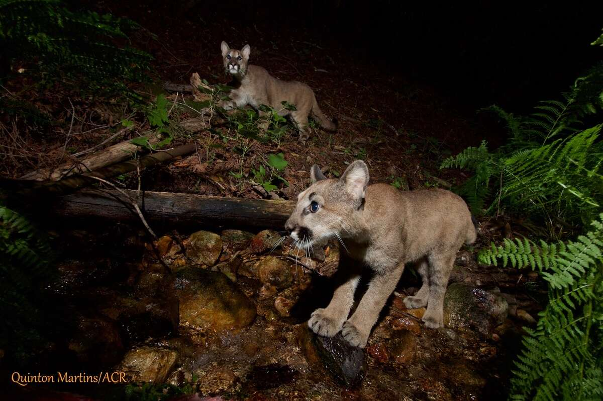 """Kittens belonging to the mountain lion dubbed """"P4"""" by the Audubon Canyon Ranch research team were caught on camera near Oakville in Napa County. Researchers estimate they're about 7 months old."""