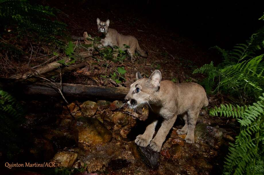 "Kittens belonging to the mountain lion dubbed ""P4"" by the Audubon Canyon Ranch research team were caught on camera near Oakville in Napa County. Researchers estimate they're about 7 months old. Photo: Quinton Martins, Audubon Canyon Ranch (ACR)"