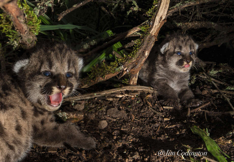 P1's kittens were also caught on camera over the when they were 10 days old. Now, only one has appeared to have survived. Photo: Jim Codington