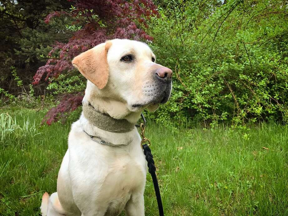 Ambo is the Westport Police Department's new K9 that is trained to detect explosives. Ambo is a 3-year old yellow Labrador trained by Frank Reda, of Superior K9. Photo: Westport Police Department Photo