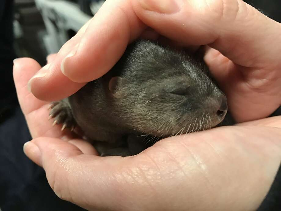 Three river otter pups have made their debut at the Oakland Zoo. Photo: Courtesy Of The Oakland Zoo