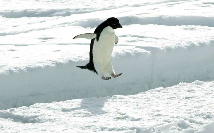 An Adelie penguin leaps a crack in the sea ice off the penguin colony at Cape Royds on Ross Island, Antarctica Tuesday, December 13, 2006.  (Chicago Tribune photo by Chris Walker) ..OUTSIDE TRIBUNE CO.- NO MAGS,  NO SALES, NO INTERNET, NO TV, CHICAGO OUT.. 00271498C Antarcticpenguins (melting of ice in Antarctica threatening survival of penguins)