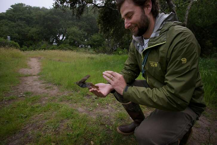 Avian Ecologist Mark Dettling releasing a hermit thrush from the palms of his hands back into the wild after a brief examination of the bird at the Palomarin Field Station in Bolinas, California. May 4, 2017