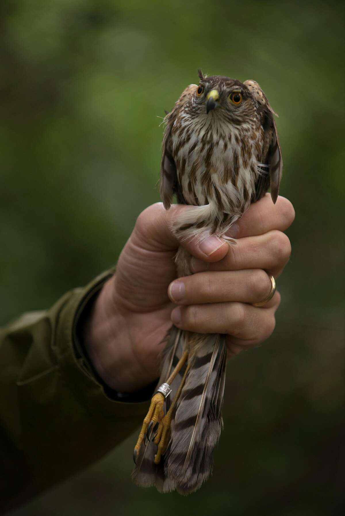 Avian Ecologist Mark Dettling holding a recently captured sharp-shinned hawk at the Palomarin Field Station in Bolinas, California. May 4, 2017
