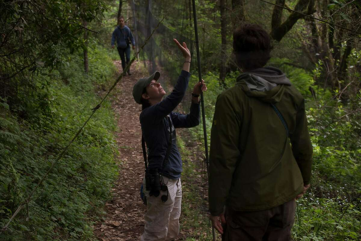 Avian Ecologist Mark Dettling, right, checking the nets for captured birds to study with interns Meredith Heather, 29, center, and Isabel Lawrence, 22, at the Palomarin Field Station in Bolinas, California. May 4, 2017