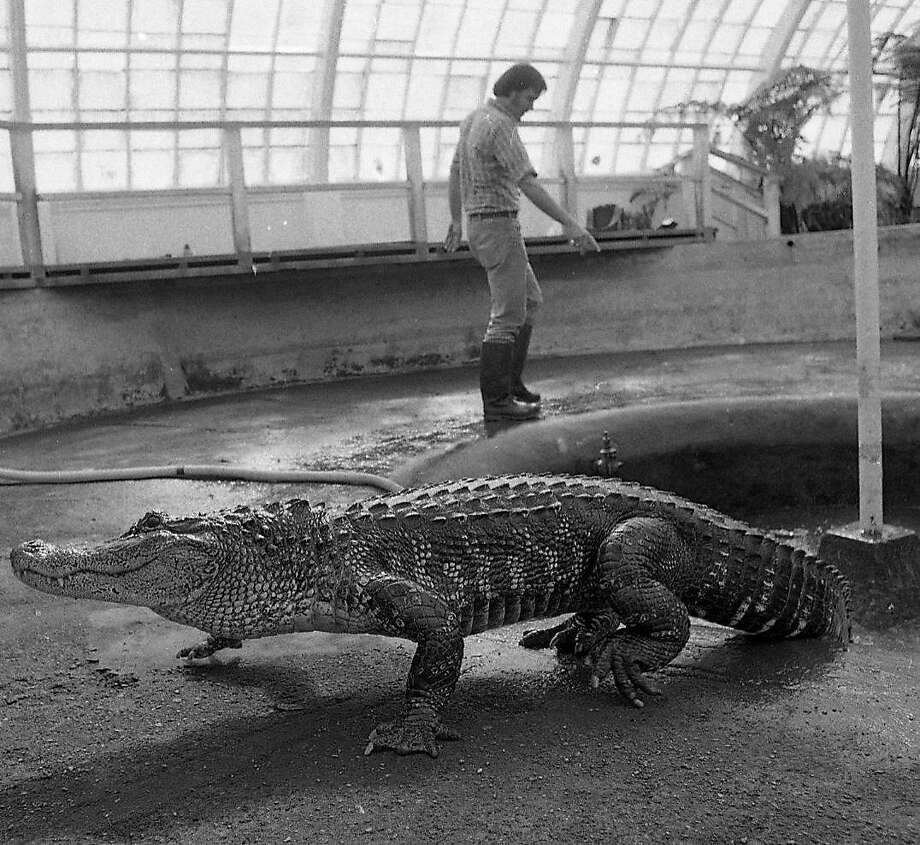 The alligators were not in favor of being transported from the Conservatory of Flowers in Golden Gate Park back to their home at Steinhart Aquarium. Photo: Steve Ringman, The Chronicle