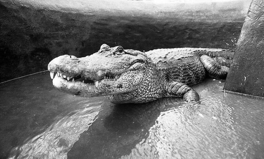 The wily alligators sank to the bottom of the lily pond at the Conservatory of Flowers in an effort to escape being transported back to Steinhart Aquarium in 1982. Photo: Steve Ringman, The Chronicle