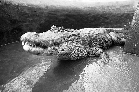 Alligators being transported back to the Steinhart Aquarium from the Conservatory of Flowers in Golden Gate Park. April 20, 1982