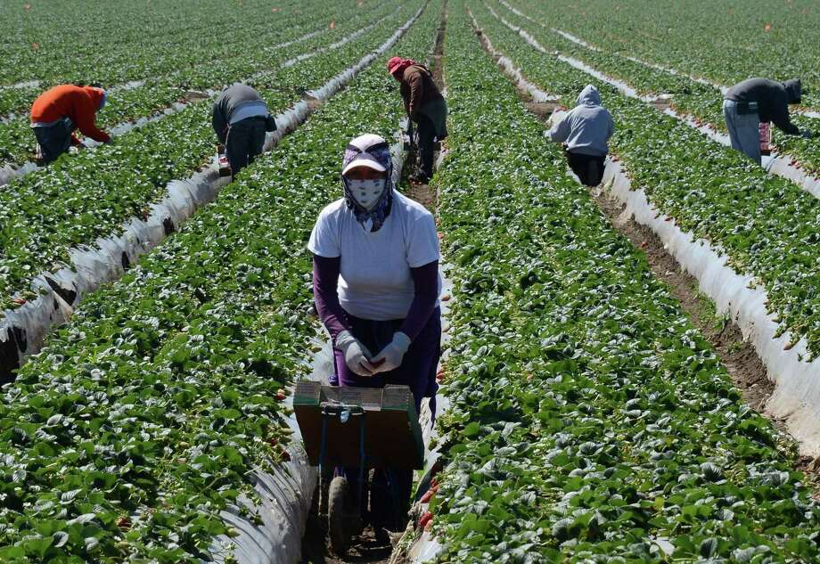 "File photo of migrant workers near Oxnard, California. The Agricultural Worker Program Act, introduced last week by Sen. Dianne Feinstein of California, would set illegal agricultural workers on a path to citizenship by providing ""blue cards"" to laborers who can prove work in the field. Photo: JOE KLAMAR / / AFP ImageForum"