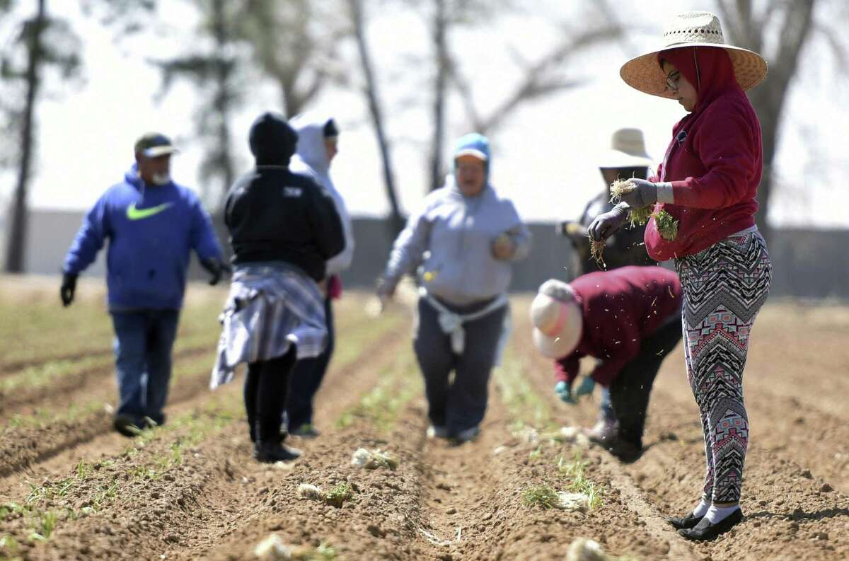 """In an April 11, 2017 photo, Karla Macias, right, pulls a few onions from her pockets as she works with a small group at a field outside of Platteville, Colo. Many agricultural producers struggle to find workers. Texas business groups worry a new bill targeting so-called """"sanctuary cities"""" will make it harder for employers in agriculture, construction, retail, hospitality and other industries to find workers."""