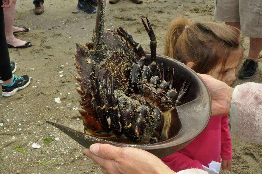 A horseshoe crab spawning crown along the Stratford shore is the focus of a bill that passed the House on Wednesday. Photo: Nancy Guenther Chapman / Nancy Guenther Chapman / Westport News