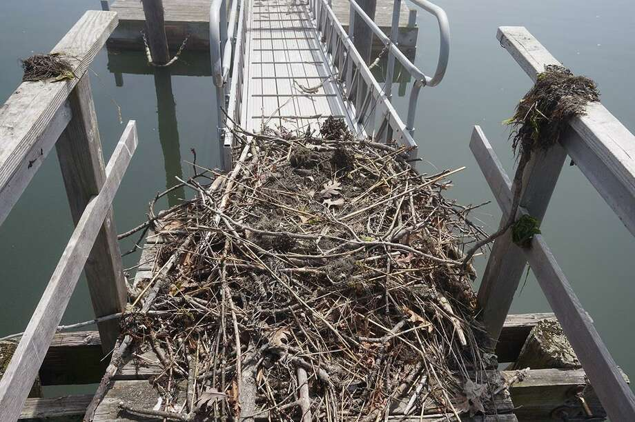 The osprey nest found on the dock of 122 Delafield Island Rd., Darien, Conn. Photo taken April 28, 2017. Photo: Contributed/William Henley / Contributed Photo / Darien News
