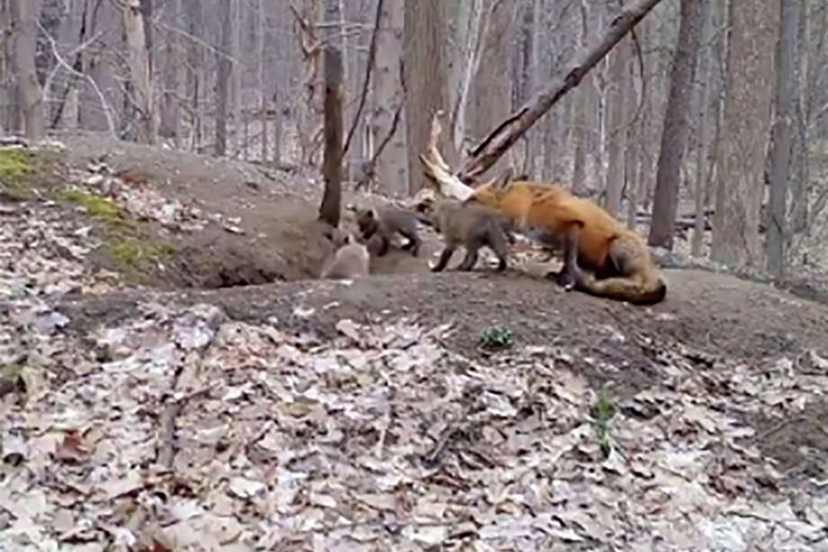 The state Department of Environmental Conservation tweeted a video Wednesday of a fox caring for her pups outside their den.Click through the slideshow to viewmorephotos of wild animals spotted in our area. Photo: DEC