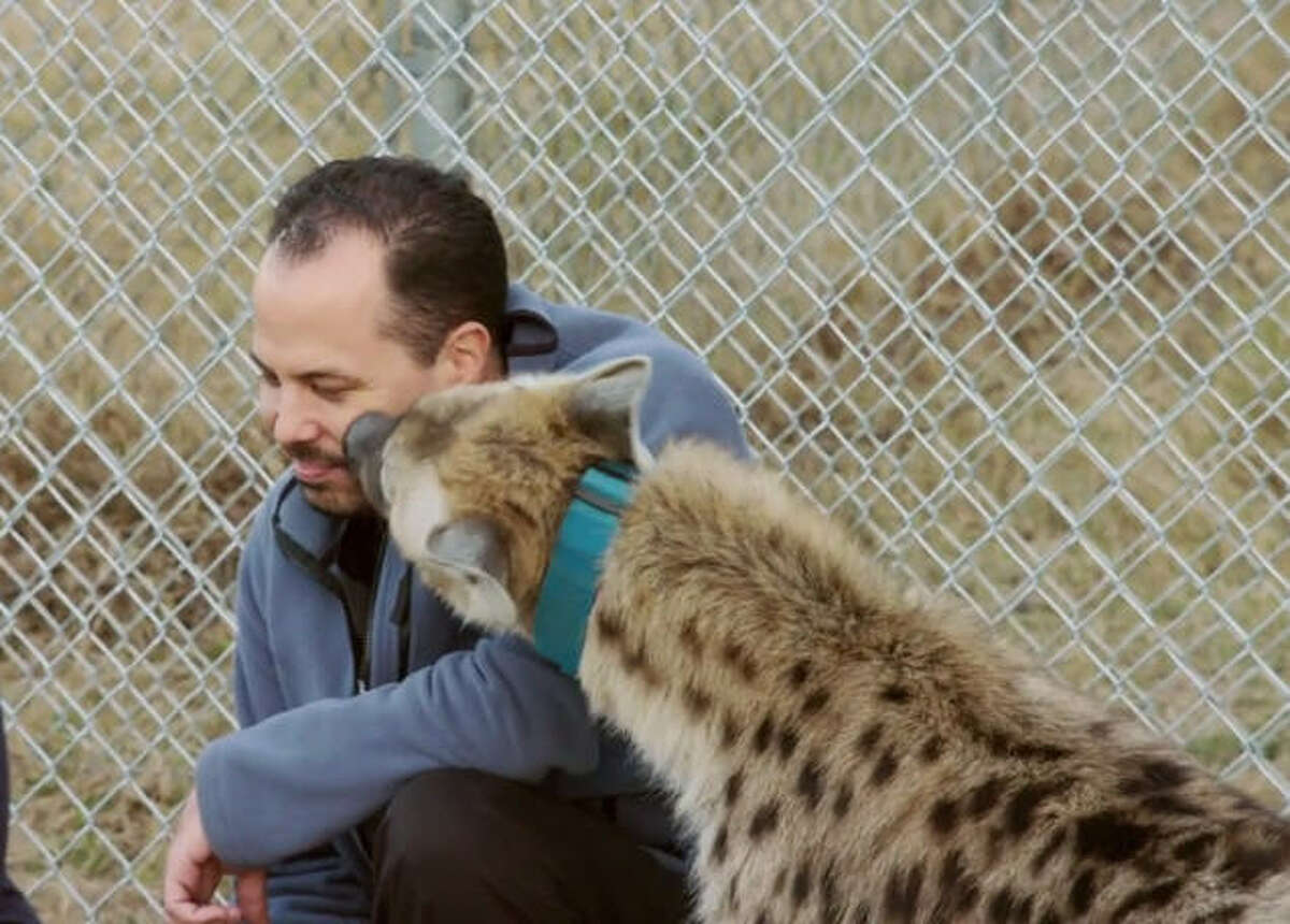 No laughing matter Loki the Hyena sniffs and licks Dr. Michael Lavigne, a veterinarian at Cy-Fair Animal Hospital. The doctors and clinic are featured on Animal Planet's