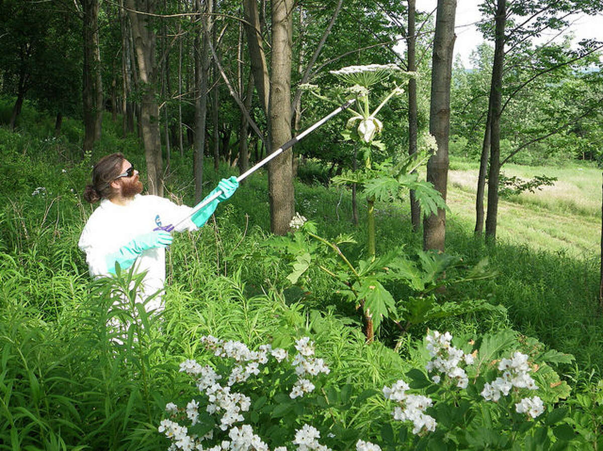 A field worker for the Department of Environmental Conservaton uses a long-handled cutting tool to take down giant hogweed in Cortland County. The plant has a toxic sap that can cause burns, blisters and scarring on the skin, and cause blindness if it gets into the eye.