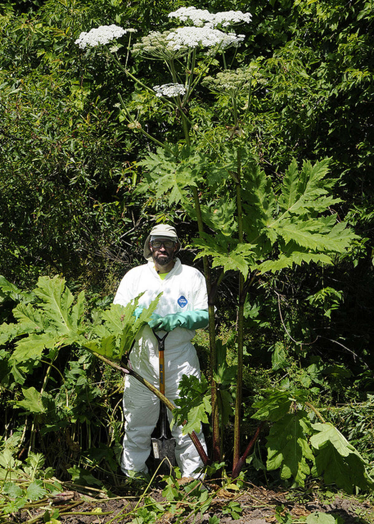 Giant hogweed can grow up to 14 feet tall. It has a toxic sap that can cause burns, blisters and scarring on the skin, and blindness if it gets into the eye.