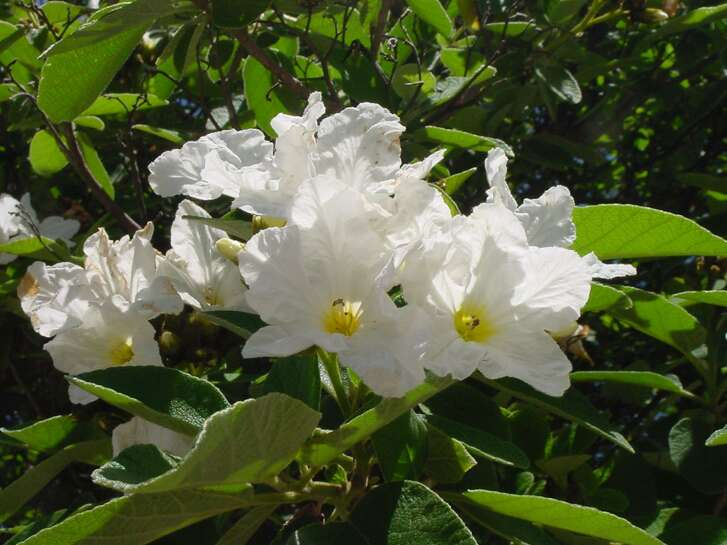 The Mexican olive forms an attractive round crown that may reach 30 feet tall. The flowers look like a white hollyhock.