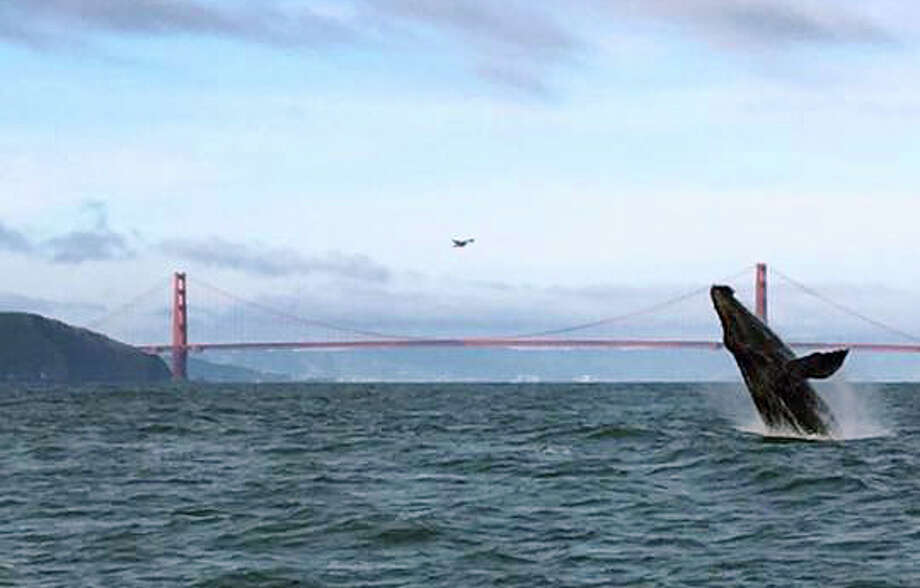 An adult Humpback whale is seen breaching on the west side of the Golden Gate Bridge on Wednesday, May 10, 2017. Photo: San Francisco Whale Tours