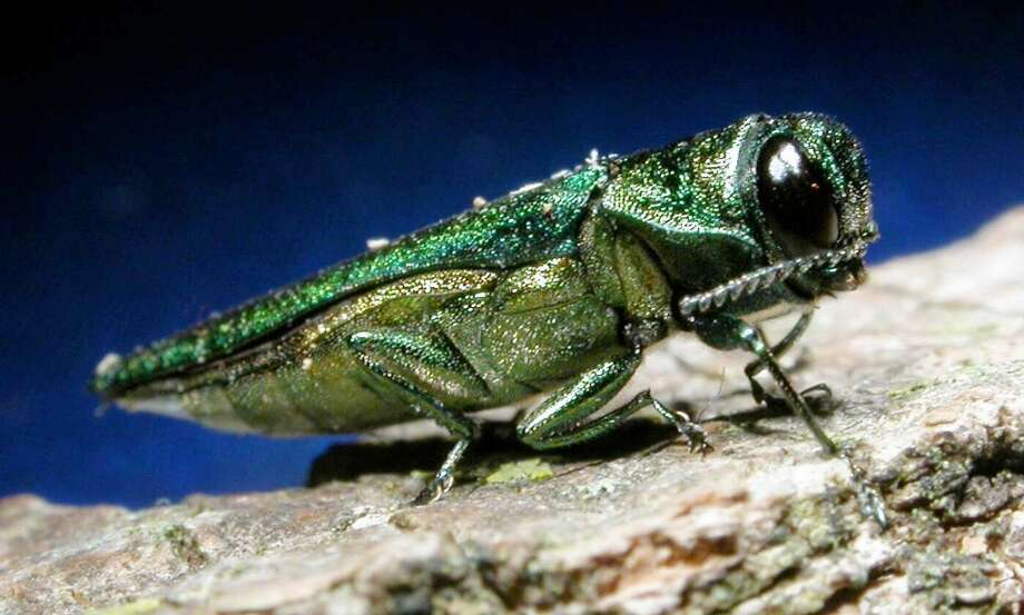 The destructive emerald ash borer, which attacks ash trees, has spread into northern New York near the Canadian border.