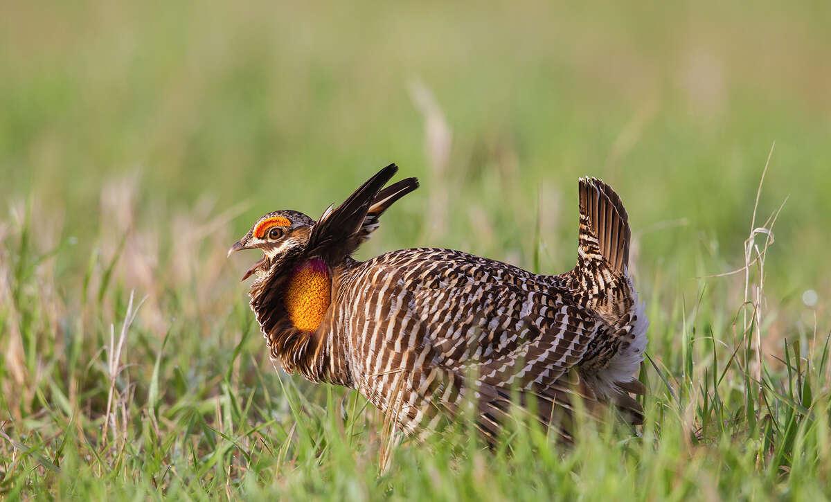 A male greater prairie chicken displays on a lek in the Nebraska Sandhills.