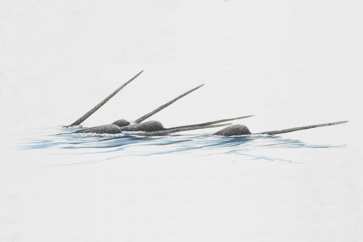 File photo of narwhals in the Arctic.