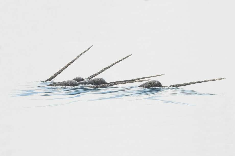 File photo of narwhals in the Arctic.  Photo: Martin Camm/Getty Images/Dorling Kindersley RF
