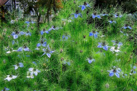 Nigella damascene, a.k.a. Love-in-a-Mist.  Credit: Wikimedia Commons