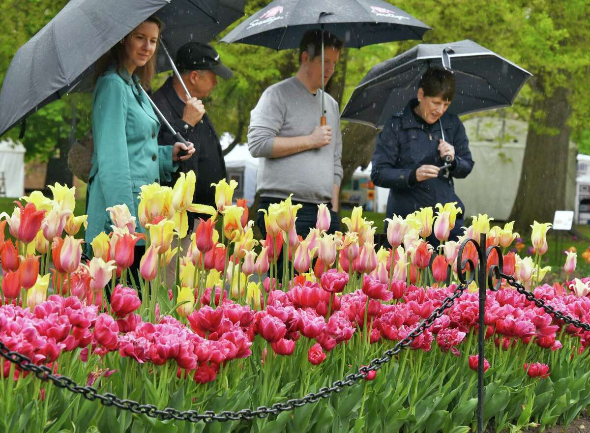 Sheltered under umbrellas, festival goers marvel over the flower beds at the 69th Annual Albany Tulip Festival Saturday May 13, 2017 in Albany, NY. (John Carl D'Annibale / Times Union)