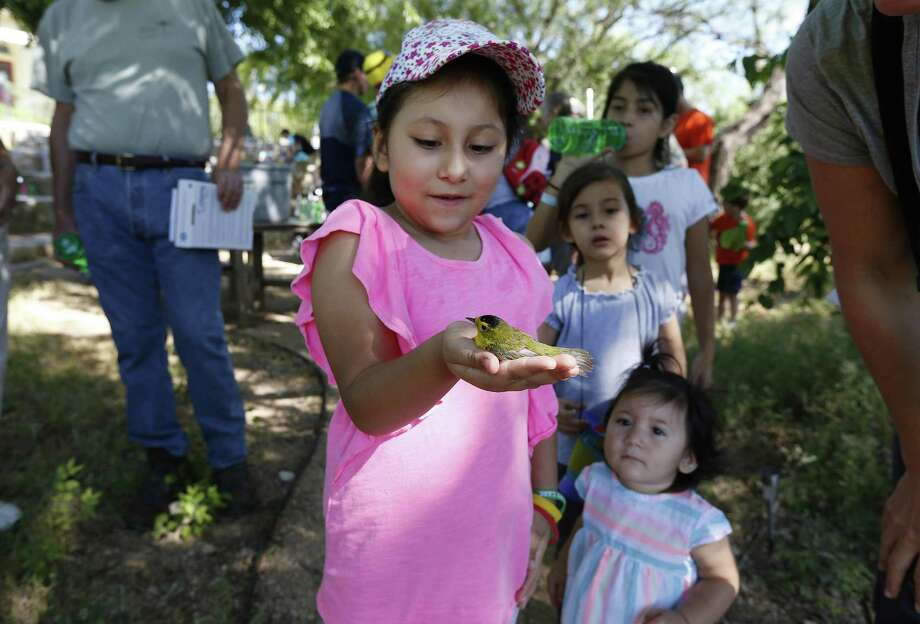 Xochitl Vega, 6, holds a white-eyed vireo in her hand after it was banded for tracking purposes as the Mitchell Lake Audubon Center holds its Migratory Bird Festival on Saturday, May 13, 2017. At the festival, guests saw how birds were banded in order to keep track of their migratory patterns, went on a nature trail tour and other presentations about birds. There were also crafts and games to entertain the younger crowd. Since 2001 when the Audubon Center was established at Mitchell Lake, the mission of the center is focused on educational programs along with preserving open space to protect wildlife and habitat. With about 1,200 acres of property, MLAC has become a sanctuary for hundreds of migrating birds.  (Kin Man Hui/San Antonio Express-News) Photo: Kin Man Hui, Staff / San Antonio Express-News / ©2017 San Antonio Express-News
