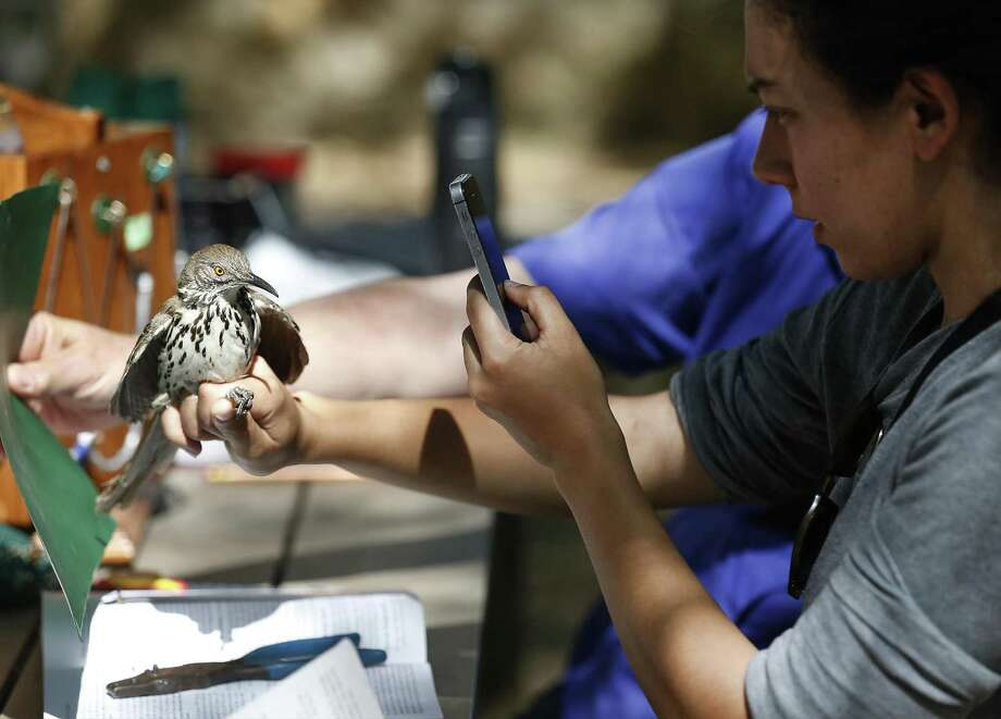 Bird bander Nancy Raginski takes a picture of a long-billed Thrasher after she banded the bird as the Mitchell Lake Audubon Center holds its Migratory Bird Festival on Saturday, May 13, 2017. At the festival, guests saw how birds were banded in order to keep track of their migratory patterns, went on a nature trail tour and other presentations about birds. There were also crafts and games to entertain the younger crowd. Since 2001 when the Audubon Center was established at Mitchell Lake, the mission of the center is focused on educational programs along with preserving open space to protect wildlife and habitat. With about 1,200 acres of property, MLAC has become a sanctuary for hundreds of migrating birds.  (Kin Man Hui/San Antonio Express-News) Photo: Kin Man Hui, Staff / San Antonio Express-News / ©2017 San Antonio Express-News