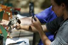 Bird bander Nancy Raginski takes a picture of a long-billed Thrasher after she banded the bird as the Mitchell Lake Audubon Center holds its Migratory Bird Festival on Saturday, May 13, 2017. At the festival, guests saw how birds were banded in order to keep track of their migratory patterns, went on a nature trail tour and other presentations about birds. There were also crafts and games to entertain the younger crowd. Since 2001 when the Audubon Center was established at Mitchell Lake, the mission of the center is focused on educational programs along with preserving open space to protect wildlife and habitat. With about 1,200 acres of property, MLAC has become a sanctuary for hundreds of migrating birds.  (Kin Man Hui/San Antonio Express-News)