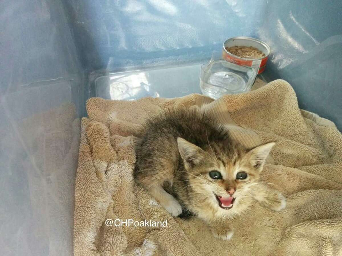 CHP officers found this kitten clinging to the engine compartment underneath a patrol car while on scene of a collision Sunday. The tow-truck driver who was on scene plans to adopt the cat if it isn't microchipped.