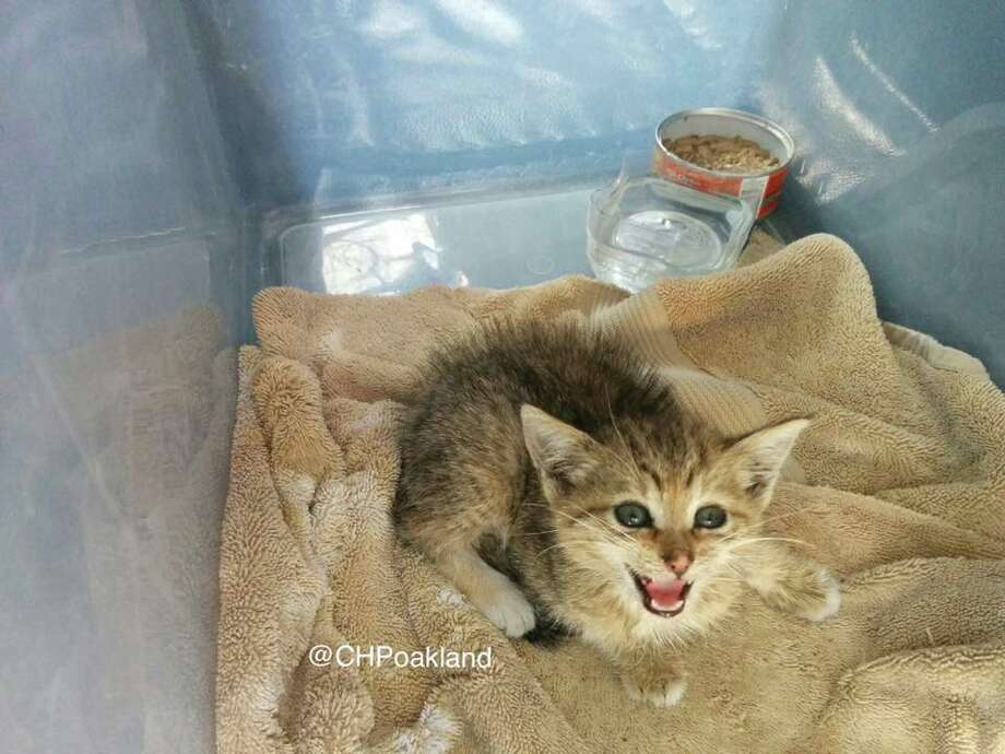 CHP officers found this kitten clinging to the engine compartment underneath a patrol car while on scene of a collision Sunday. The tow-truck driver who was on scene plans to adopt the cat if it isn't microchipped. Photo: CHP Oakland