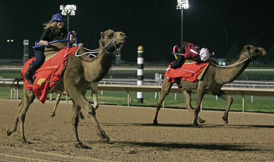 Camels, ostriches and zebras will join the races at Retama Park Race Track in August. Photo: James Nielsen, Staff / © 2013  Houston Chronicle