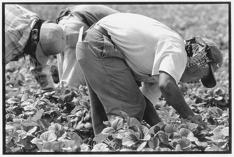 The strawberry industry is necessarily labor-intensive. Machines would damage the fruit, so workers must stoop down to remove the fruit one by one. In the U.S., most of this work is done by immigrants. / © 2000 David Bacon