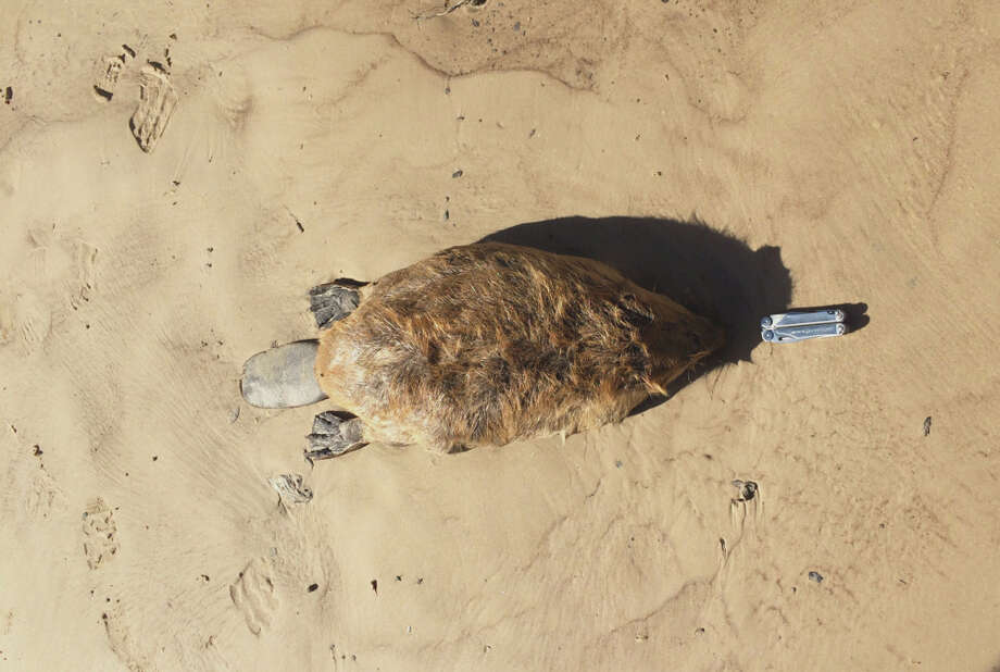 The group was stunned to find this beaver and to understand the wildlife along Buffalo Bayou. Photo: Bill Heins