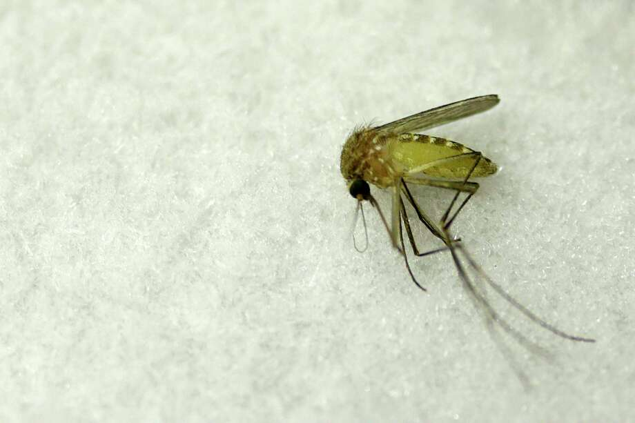 The most common mosquito in south Texas, the culex, is know to carry the West Nile virus. Photo: Mark Mulligan, Staff / © 2016 Houston Chronicle