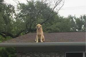 Huckleberry is a 5-year-old golden retriever who likes to hang out on his family's roof in Austin.