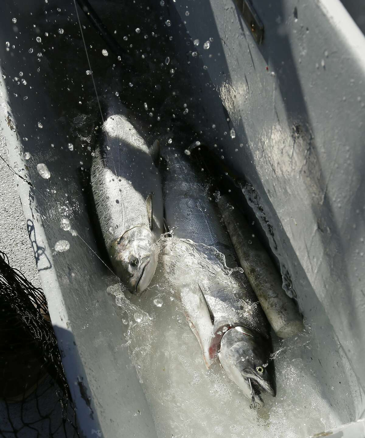 FILE - In this Aug. 29, 2016, file photo, a salmon flails in a water tub after being caught off the coast of Stinson Beach, Calif. A new study led by researchers at the University of California at Davis and released Tuesday, May 16, 2017, estimated 45 percent of California's native salmon species would go extinct in 50 years, pushed out by human development, drought and climate change. (AP Photo/Eric Risberg, File)