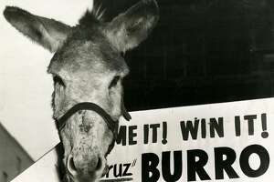 San Francisco Chronicle contest offered a chance to win a genuine Vera Cruz burro, and 25 cash prizes. December 15, 1954