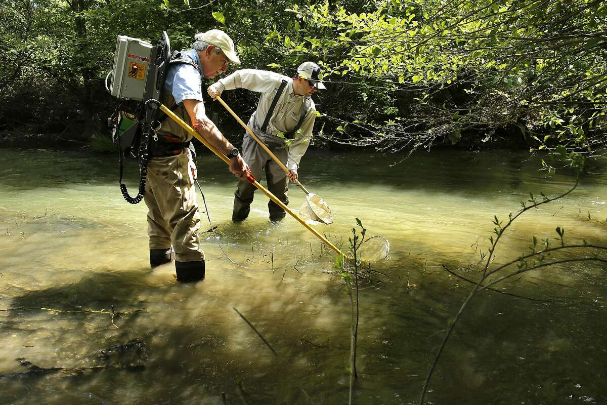 Professor Emeritus Peter Moyle, (left) a fish biologist and Robert A. Lusardi, Ph.D., CalTrout-UC Davis Wild and Cold Water Fish Scientist collect fish for research from Putah Creek on the outskirts of Davis, Ca. on Monday May 15, 2017.