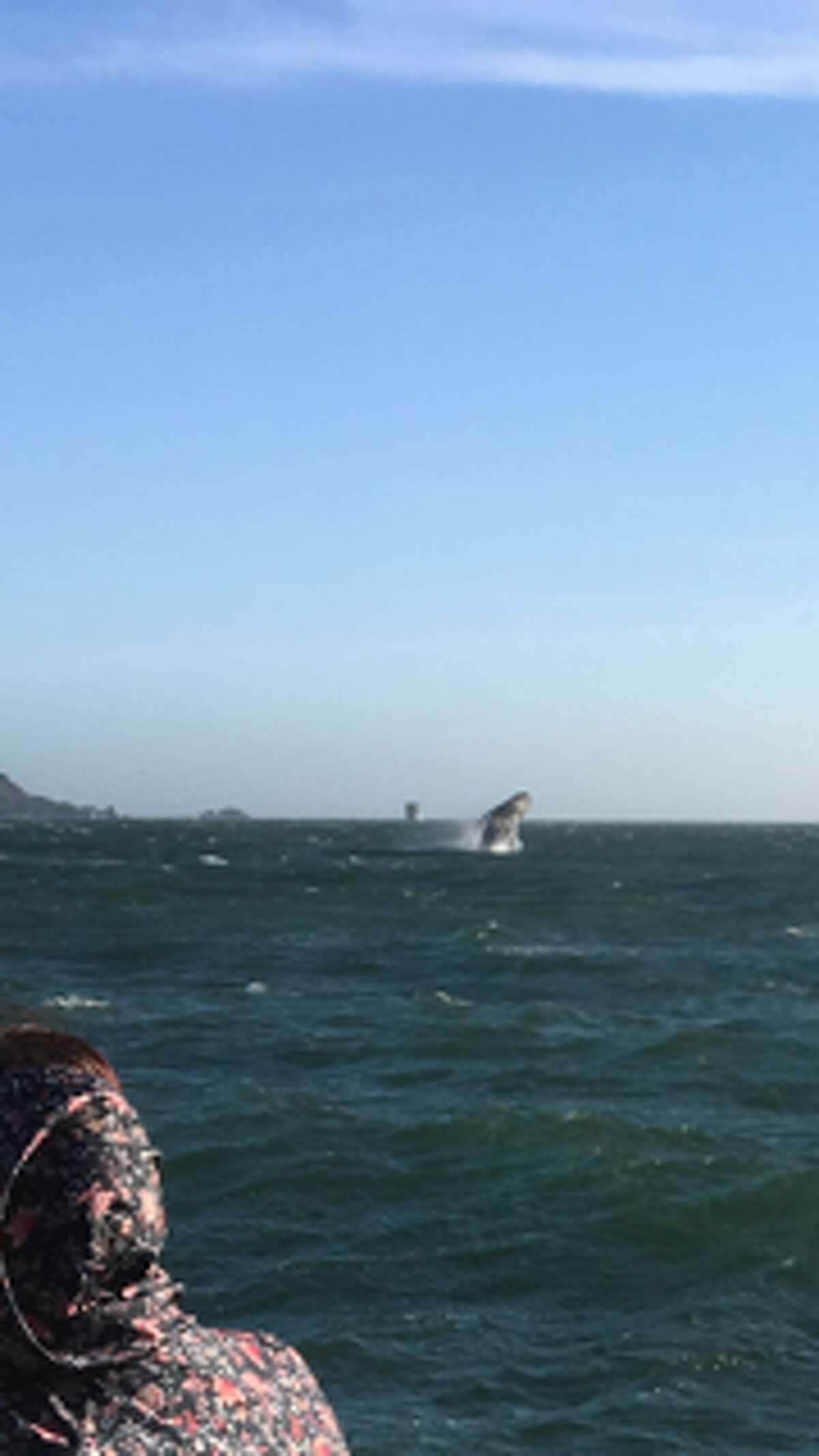 A San Francisco Whale Tours cruise spotted a humpback whale breaching on May 15, 2017, and posted this image on their Facebook page