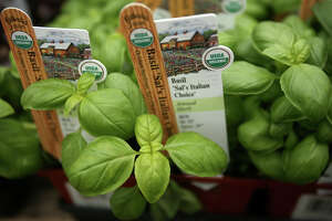 Italian basil for sale at Gilbertie's Herb Gardens in Westport on Thursday, April 26, 2012.