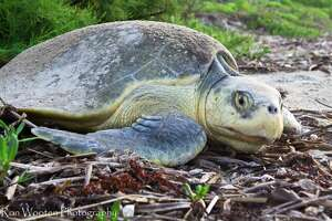 A record number of endangered Kemp's ridley sea turtle nests has been found on the Texas Gulf Coast, according to a National Parks Service official.